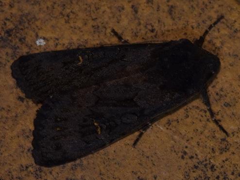 Aporophila nigra