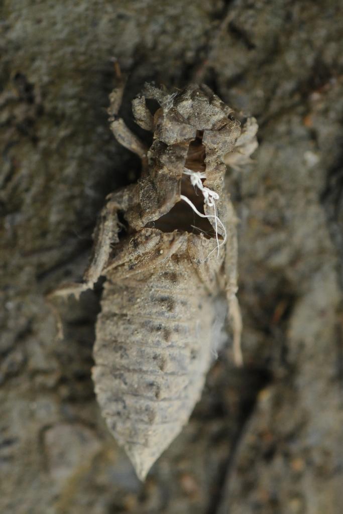 exuvie Ophiogomphus cecilia