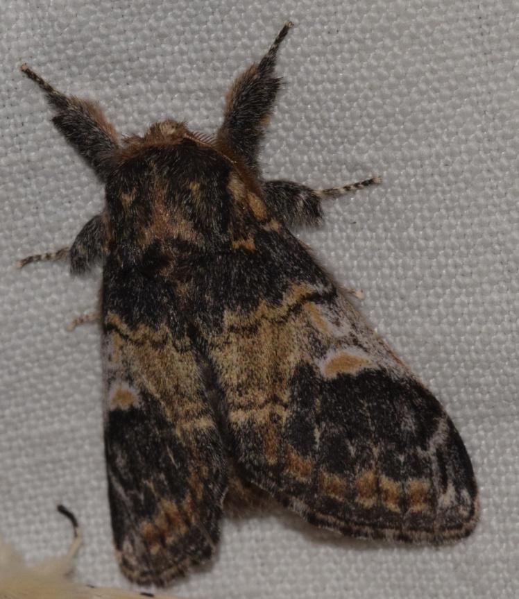 Notodonta tritophus