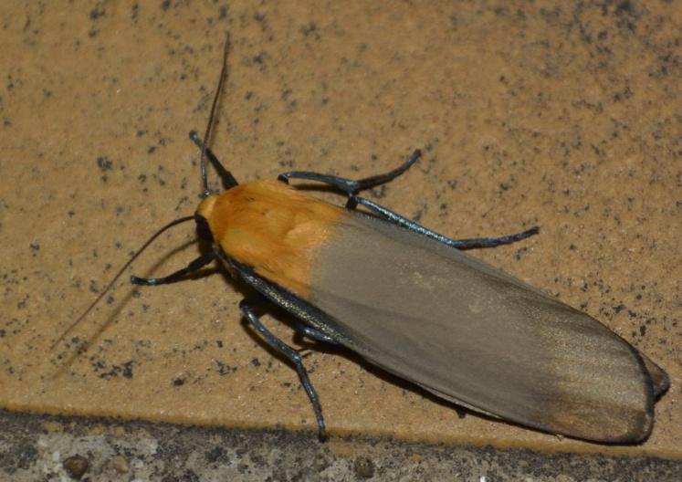 Lithosie quadrille mâle